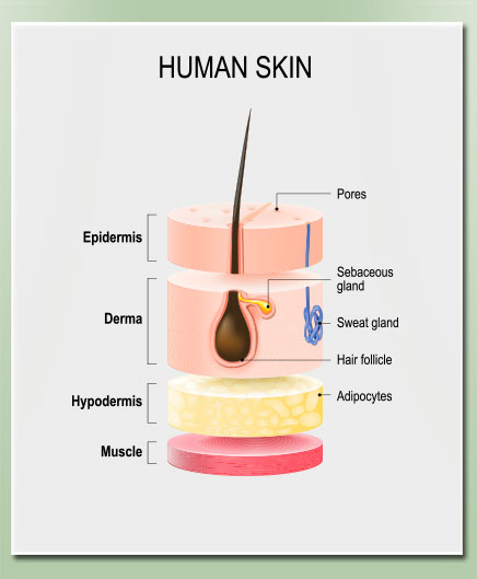 A cross section illustration of human skin
