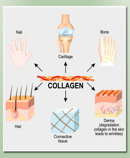 An diagram illustrating where the collagen protein impacts the body